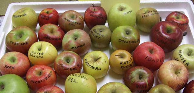 fresh breath apples