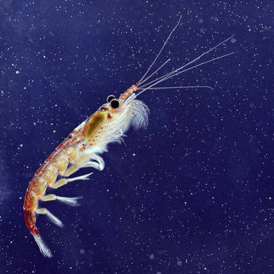 2013-11-29-anti-aging-potential-discovered-in-krill