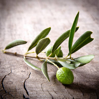 2014-01-16-study-finds-olive-leaf-extract-useful-in-diabetes-management