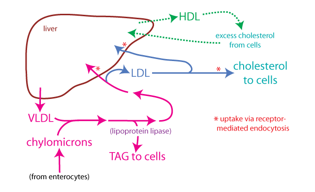 cholesterol lipoproteins liver