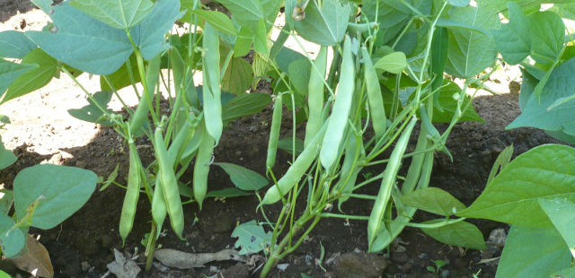 bush green beans vegetable quick garden growing