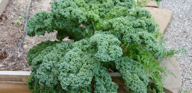 kale vegetable quick garden growing