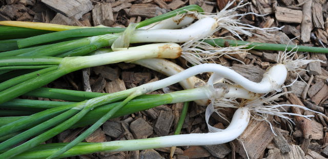 green onions scallions vegetable quick garden growing