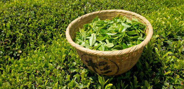 things you need to know about green tea