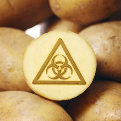 new gmo potatoes worrisome