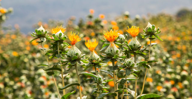 safflower acid reflux