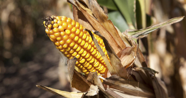 high corn fructose syrup
