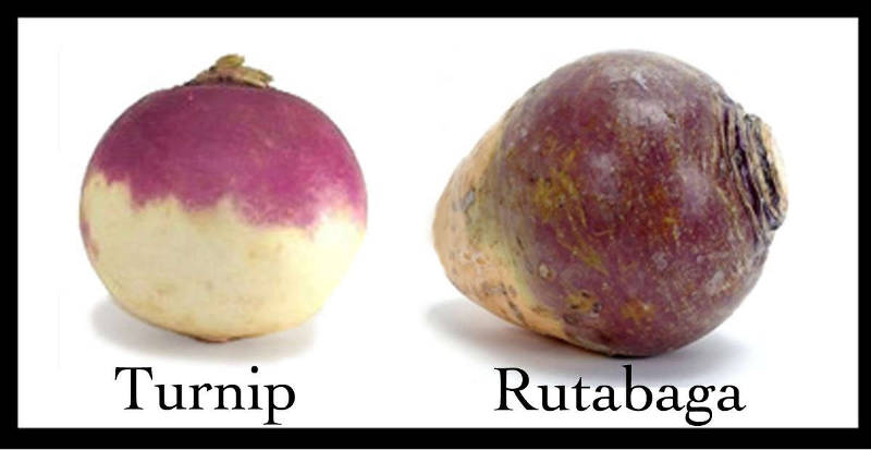 rutabaga root vegetable
