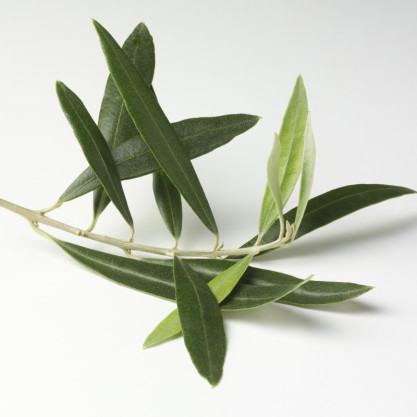 olive leaf extract health benefits