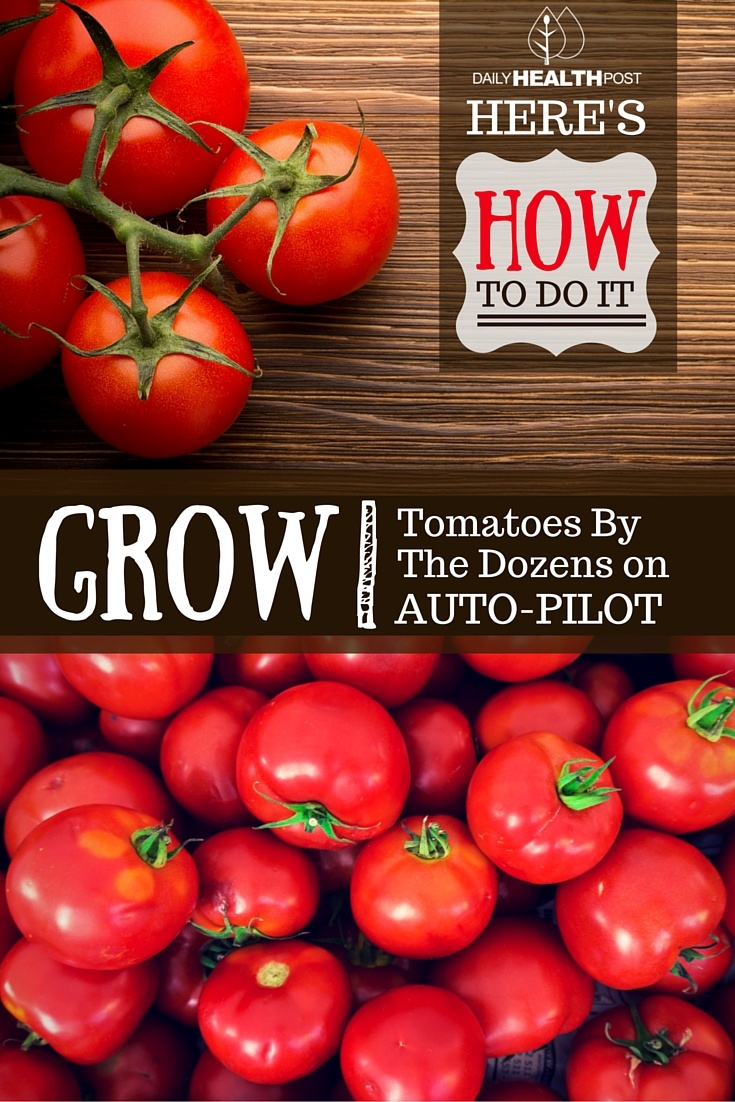How To Grow Tomatoes By The Dozens on Auto-Pilot