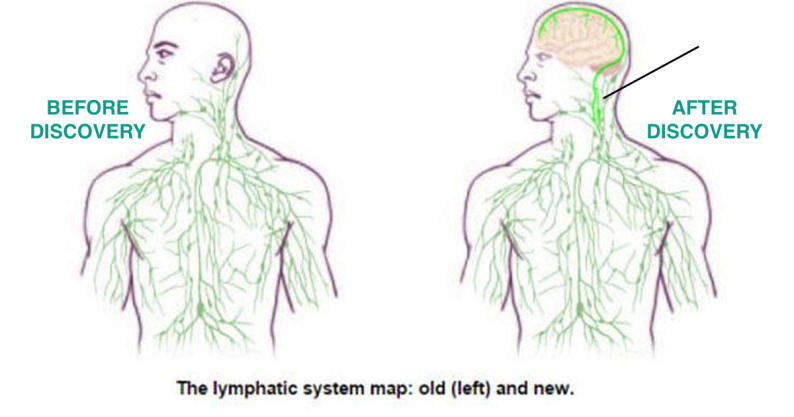 missing link between brain and immune system