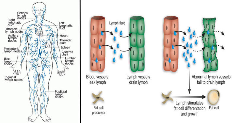lymphatic system and obesity