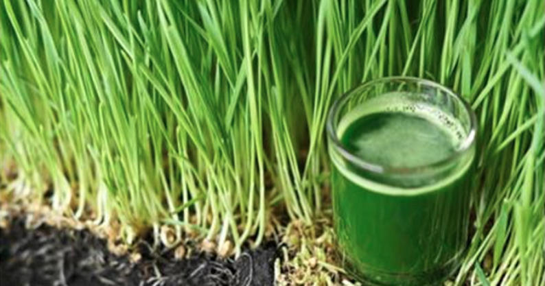 wheatgrass gray hair