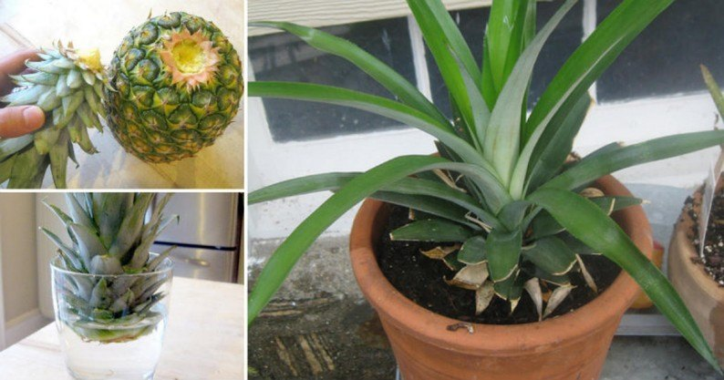 grow pineapple