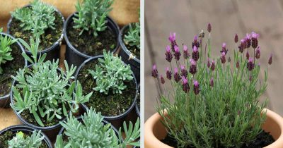 growing lavender indoors