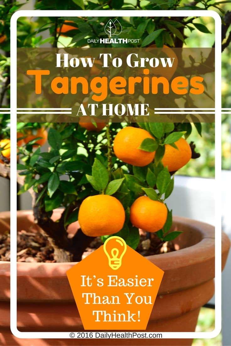 how-to-grow-tangerines-at-home-it-easier-than-you-think