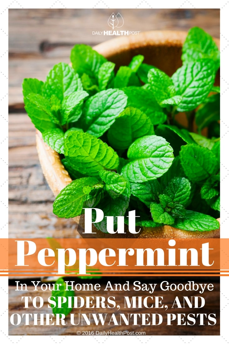 put-peppermint-in-your-home-and-say-goodbye-to-spiders-mice