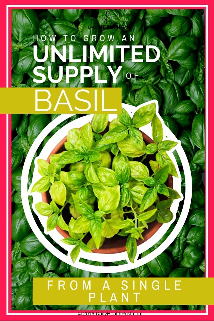 how-to-grow-an-unlimited-supply-of-basil-from-a-single-plant