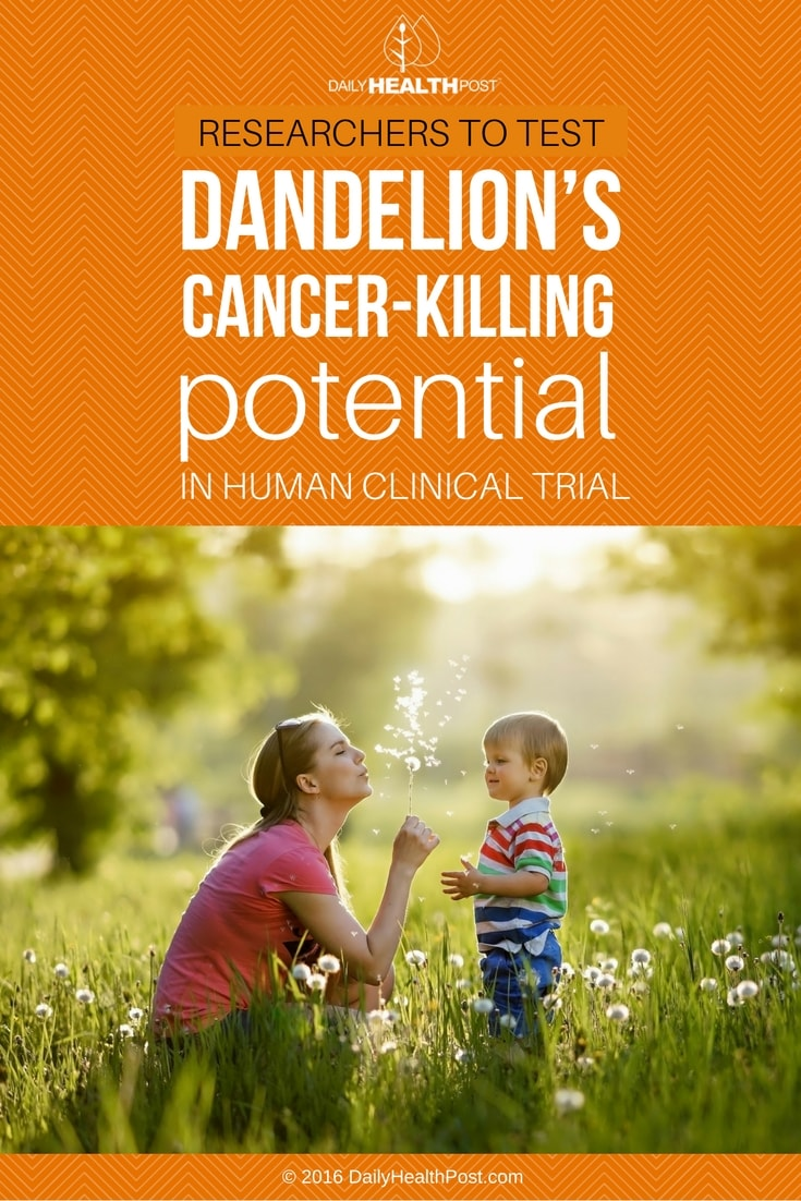 researchers-to-test-dandelions-cancer-killing-potential-in-human-clinical-trial